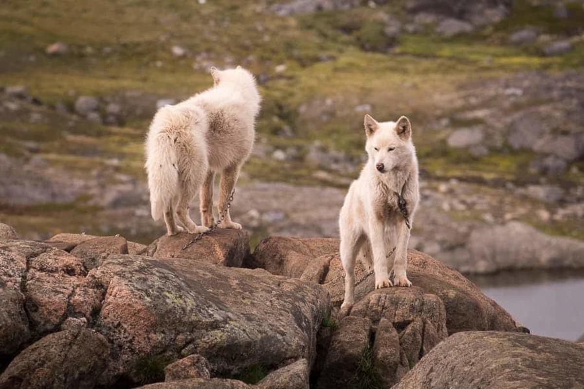 Alaskan Wolf Dog