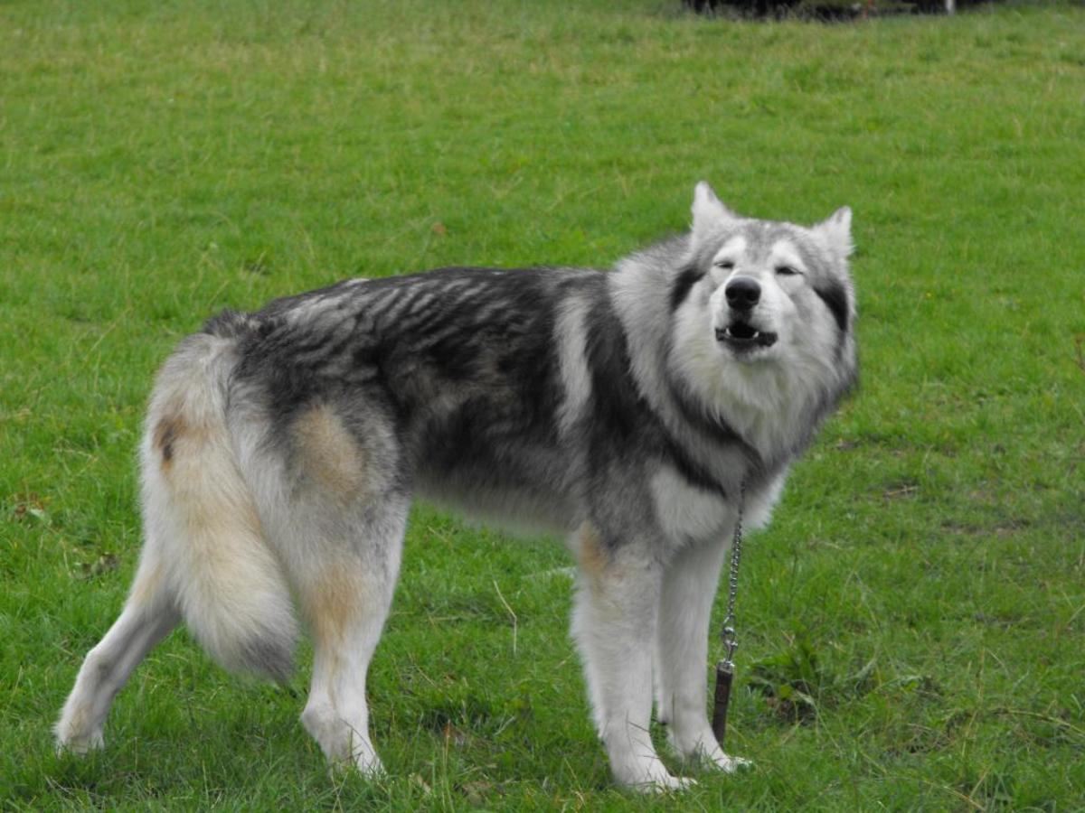 Northern Inuit Dog (Utonagan)