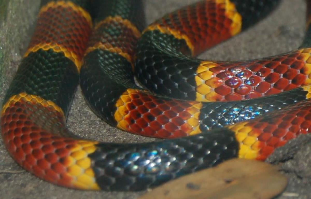 Coral snake closeup