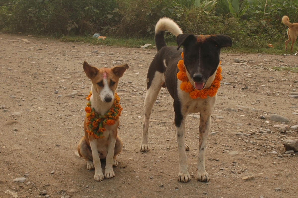 Stray Dogs, greeted during  KUKUR TIHAR FESTIVAL of NEPAL