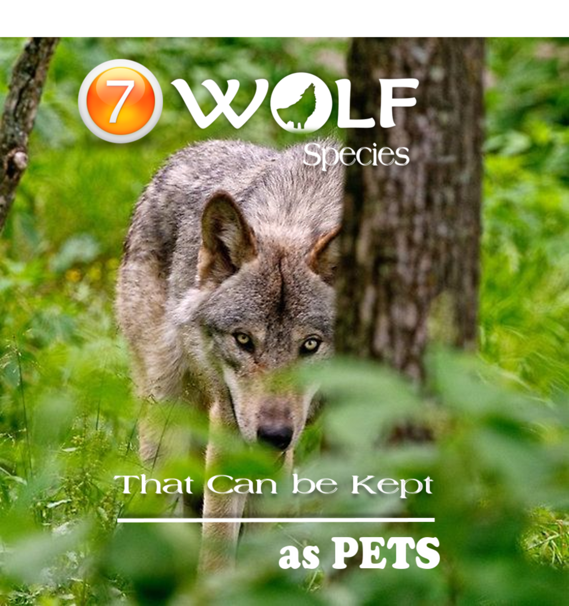 The Wolves that are Social Animals and Can be Kept as Pets