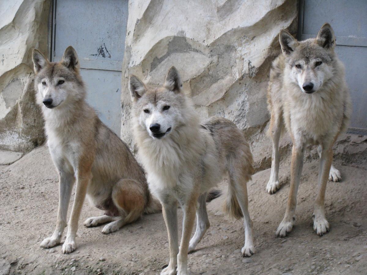 The Himalayan Wolf