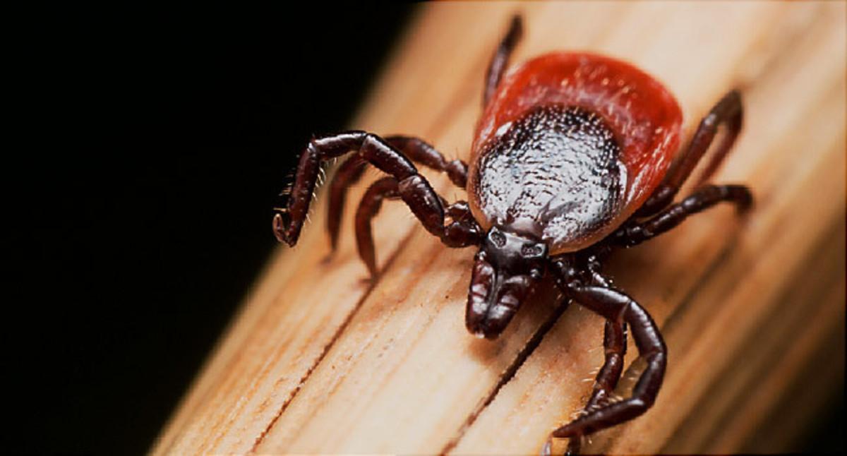 Black Tick Causes Lyme Disease