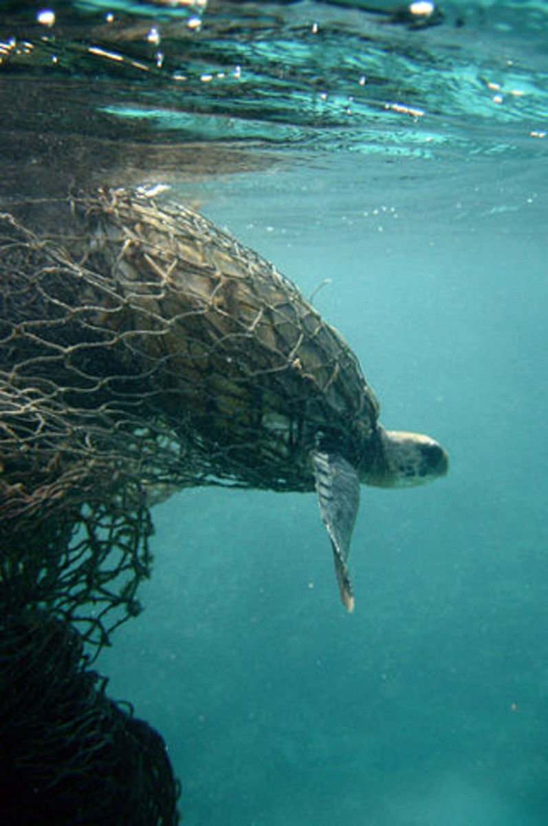 Sea Turtles are often the victims of entanglement in plastic fishing nets, such as this ghost one pictured here.