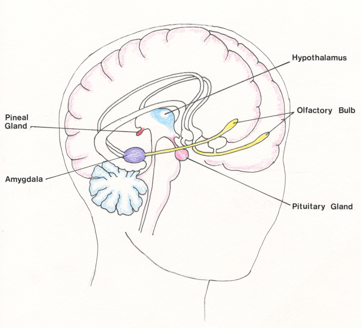 The Hypothalamus and Amygdala:  Artwork by S.P. Austen