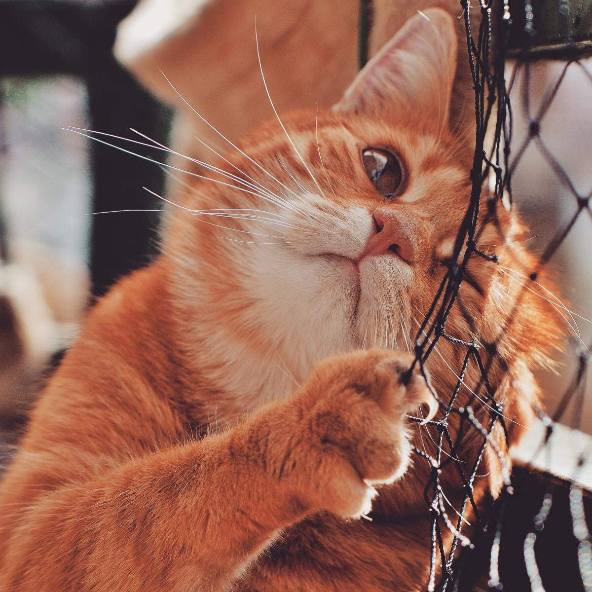 Cat using claws to climb fence.