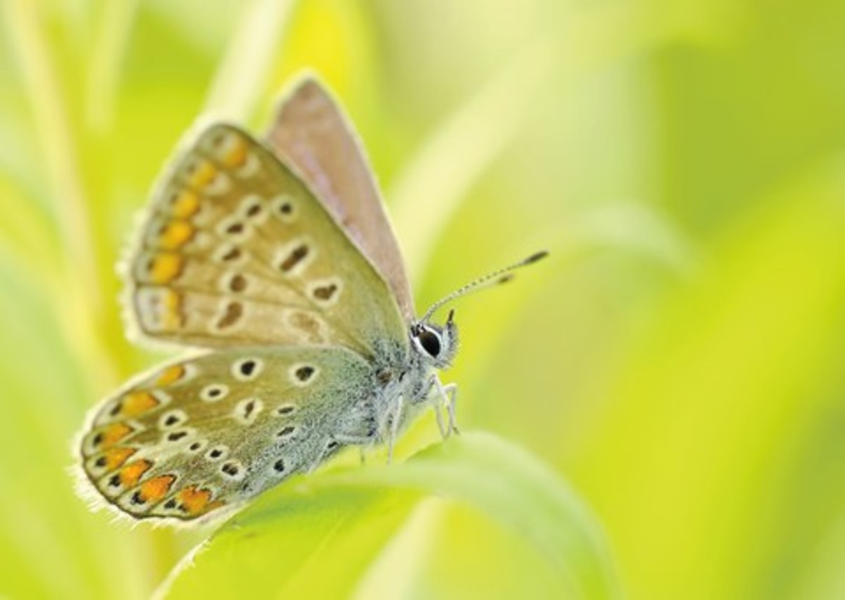 Butterflies The Majestic Pollinator