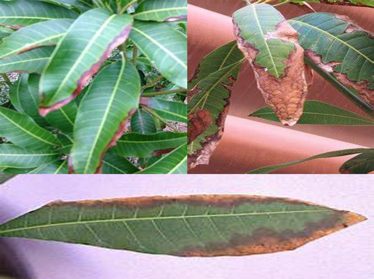 leaf blight