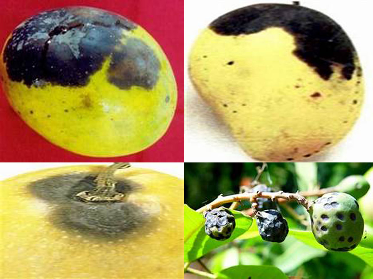 Fruits infected with stem-end rot