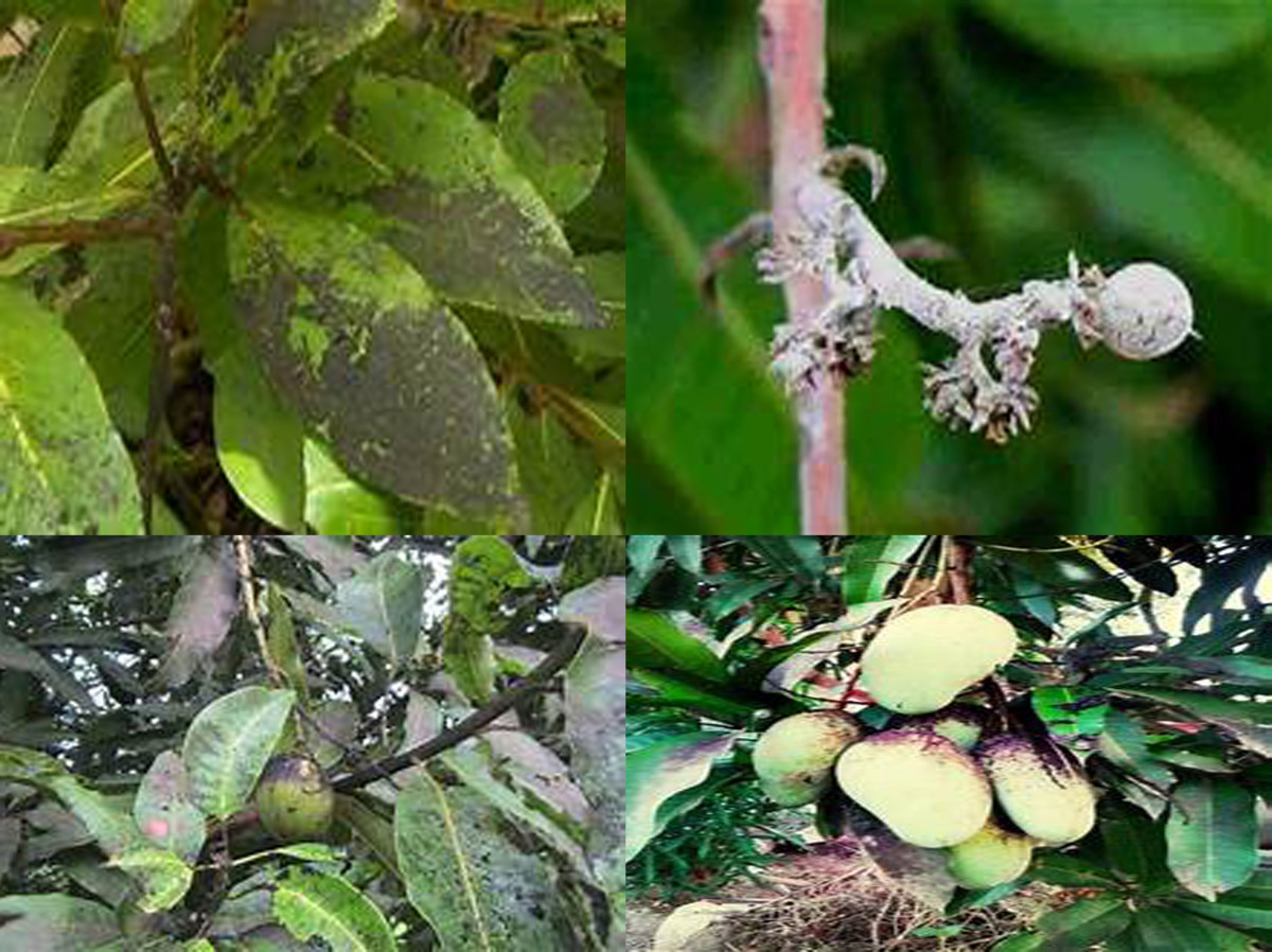 Sooty mold on leaves, stems, and fruits