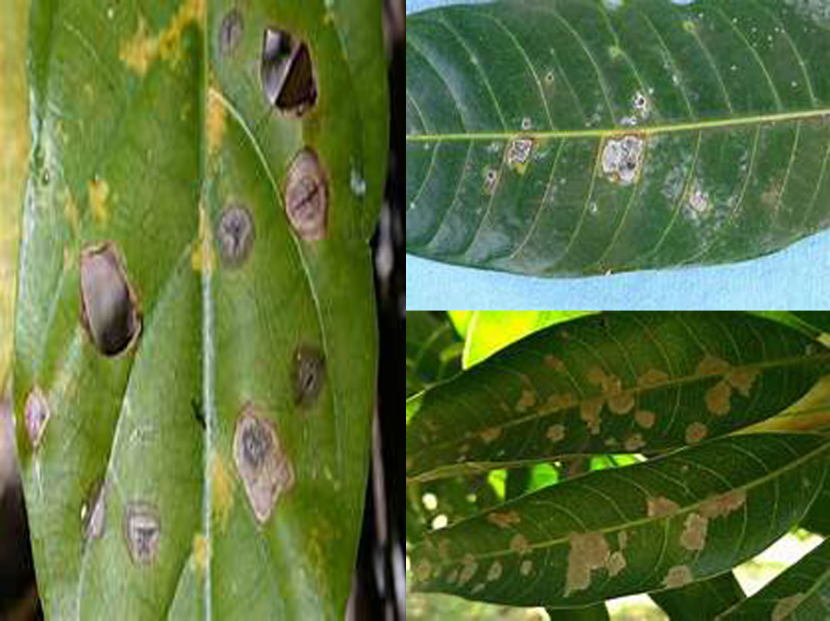 Infected leaves with Sordaria sp.