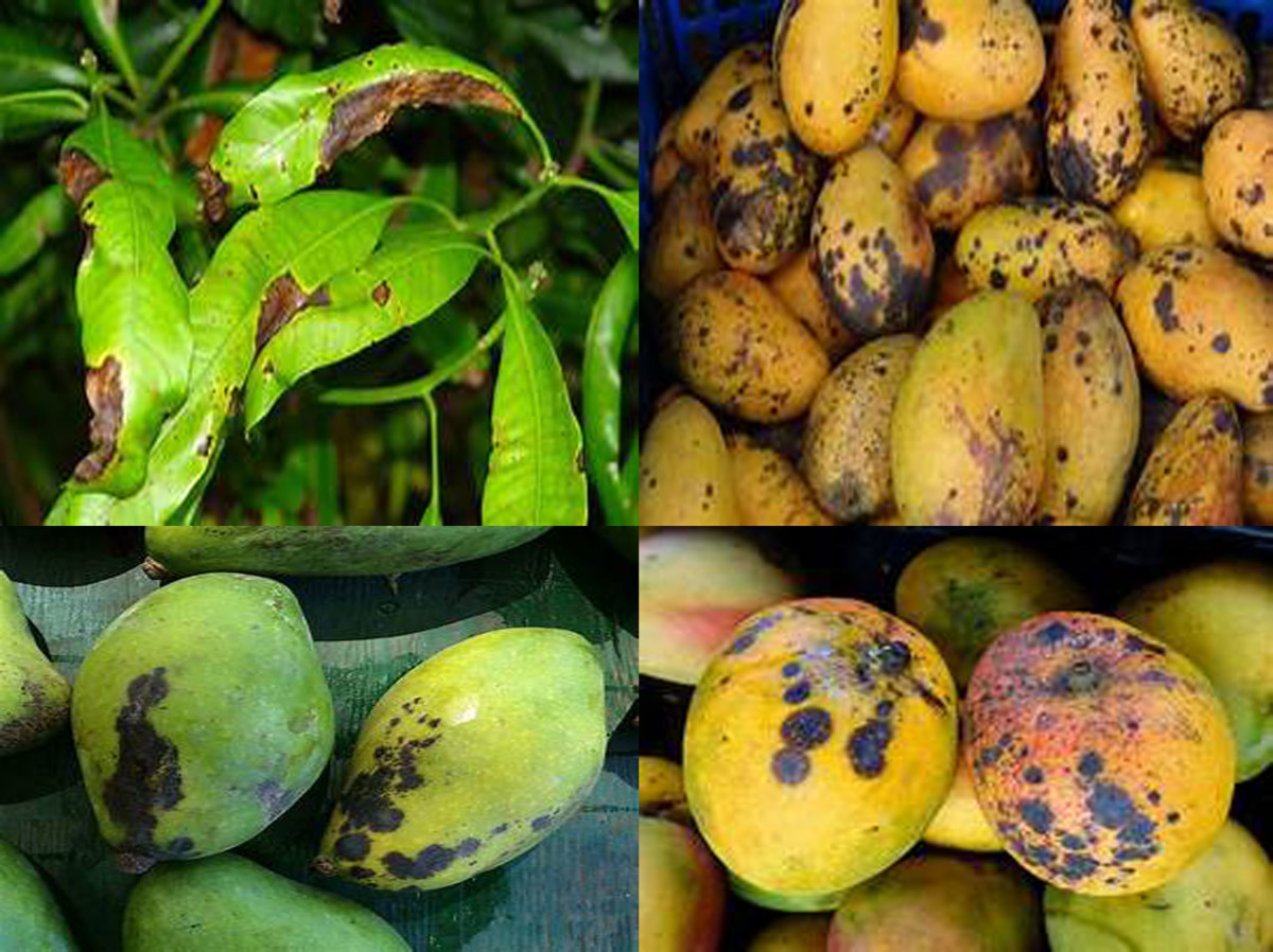 Compendium of Diseases: Mango