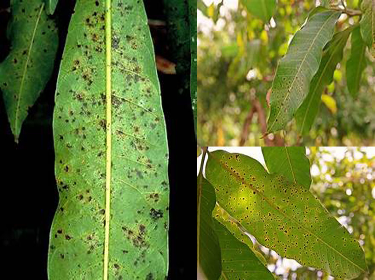 Black leaf spot on leaves