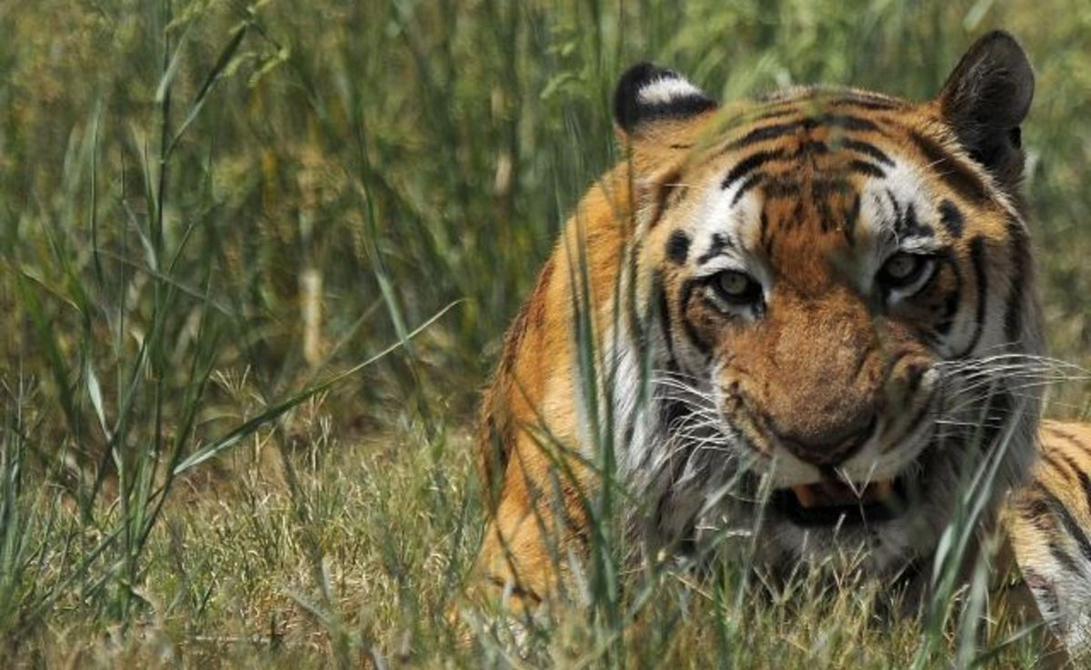 True Tale: The Tiger and the Bayonet