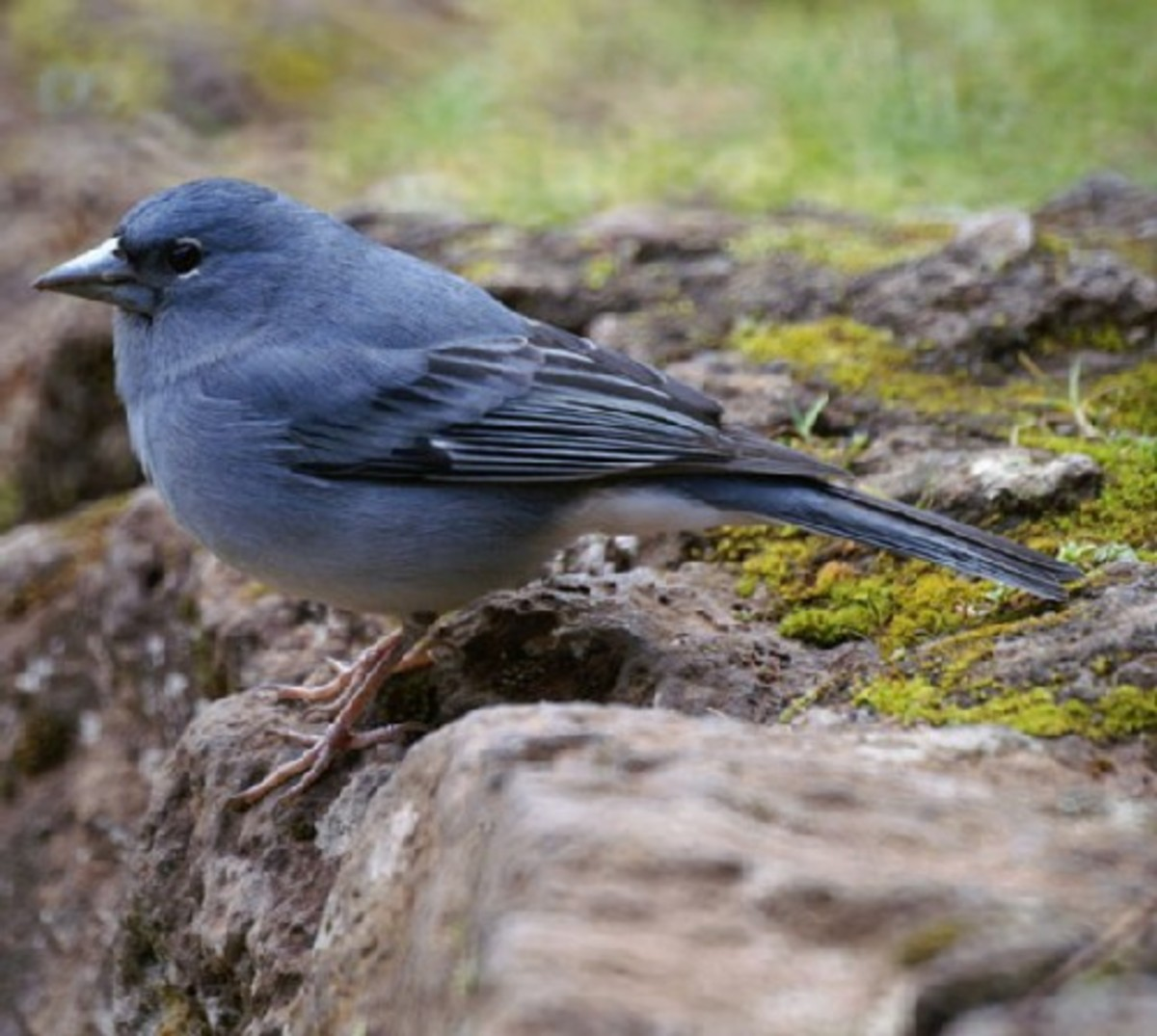 Tenerife birds and bird-watching in the Canary Islands