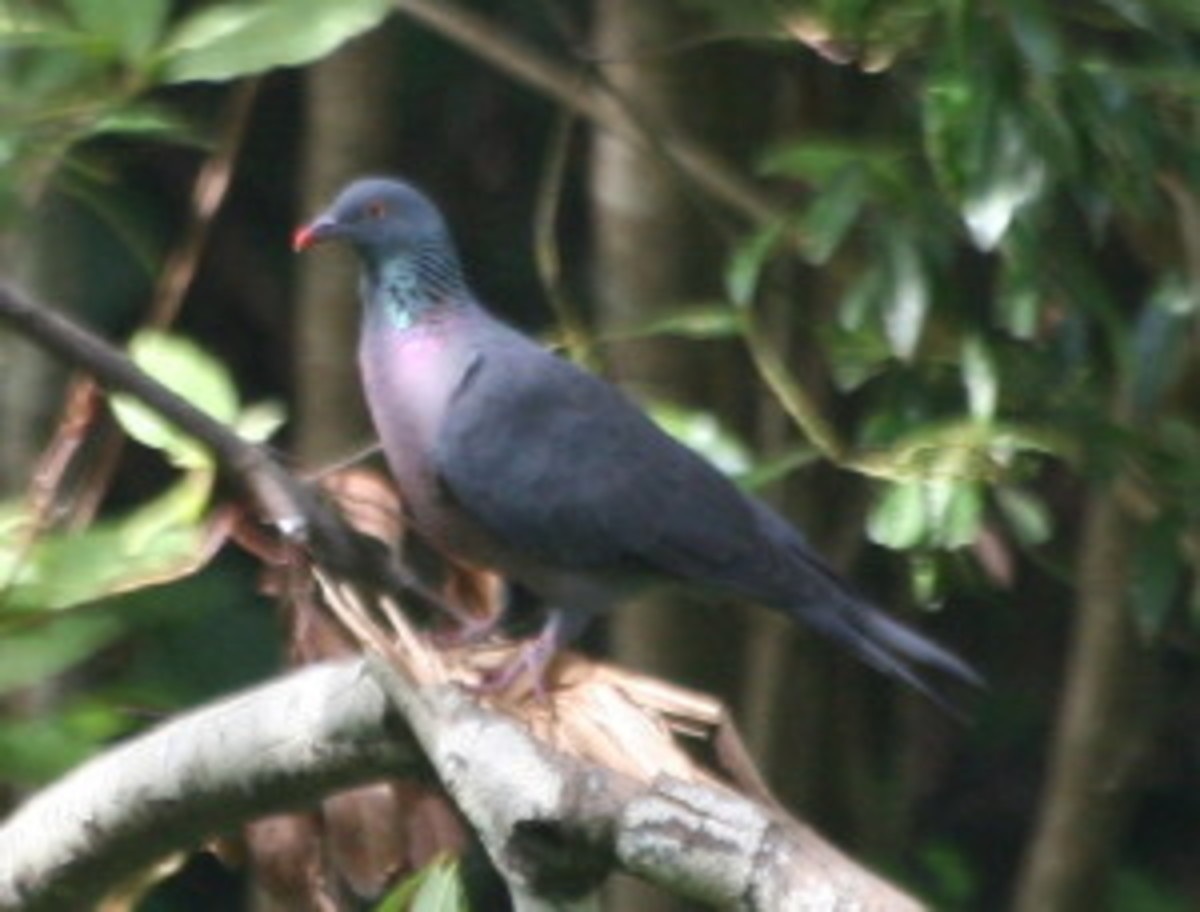 Bolle's Pigeon. Photo from Wikipedia and by Spot1972