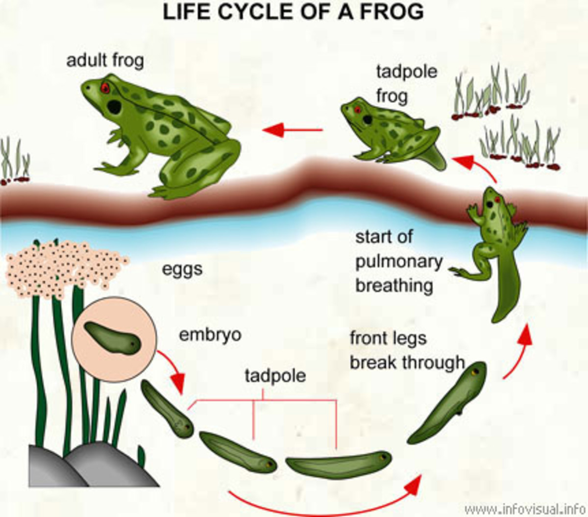 Life Cycle Of A Frog: From Tadpole To Frog