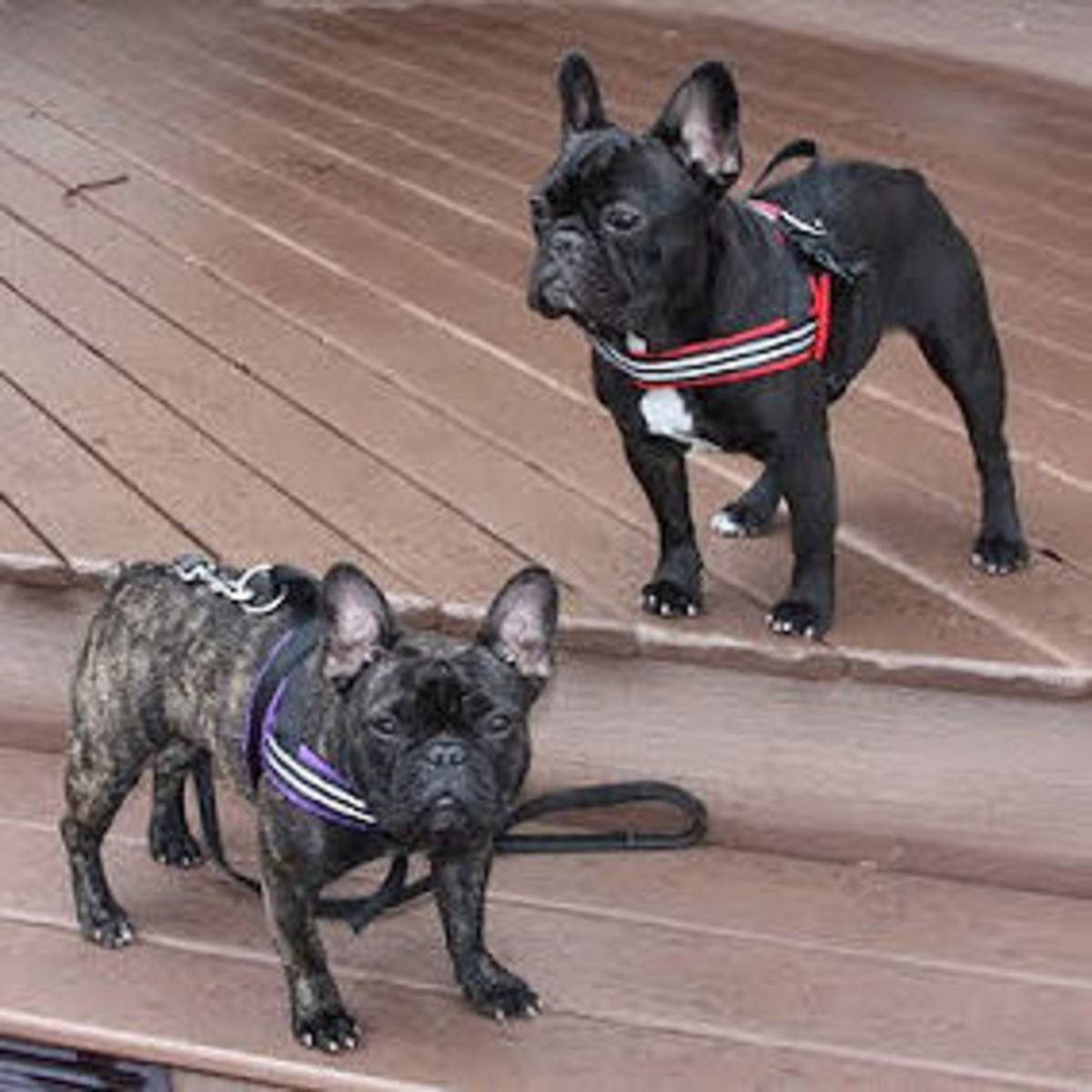 Carmen and Brutus in their ComfortFlex Sport Harnesses.