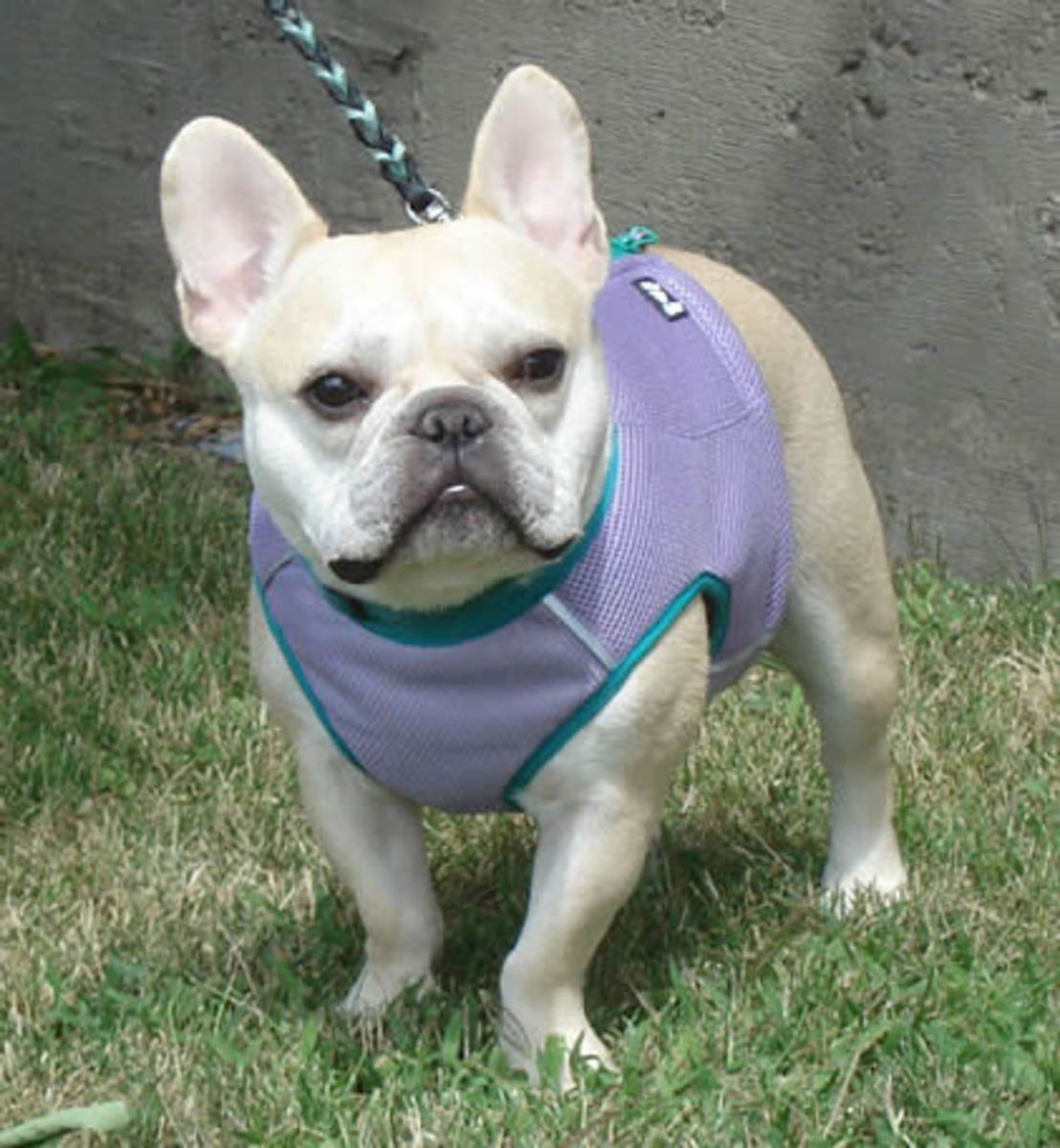 Best cooling vest for french bulldog