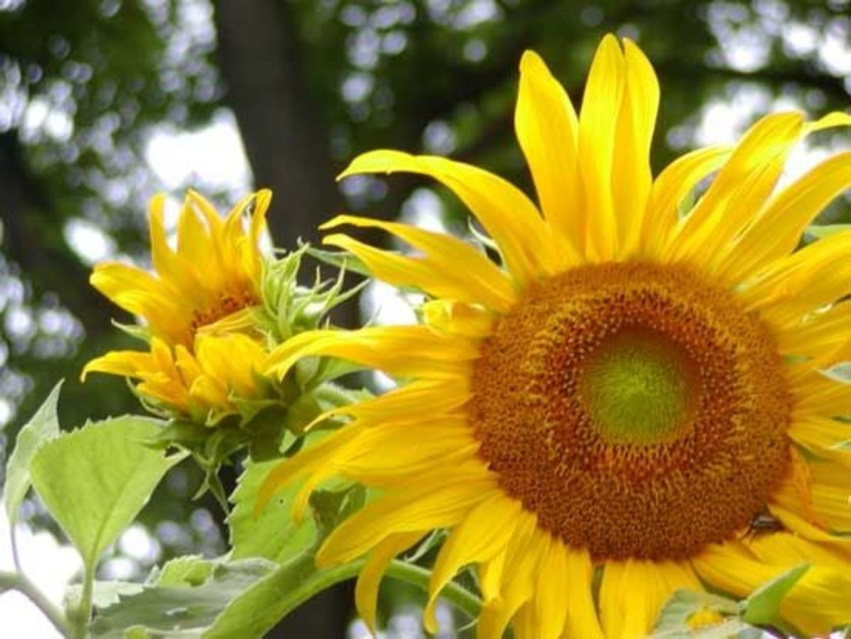 Sunflowers are a symbol of adoration