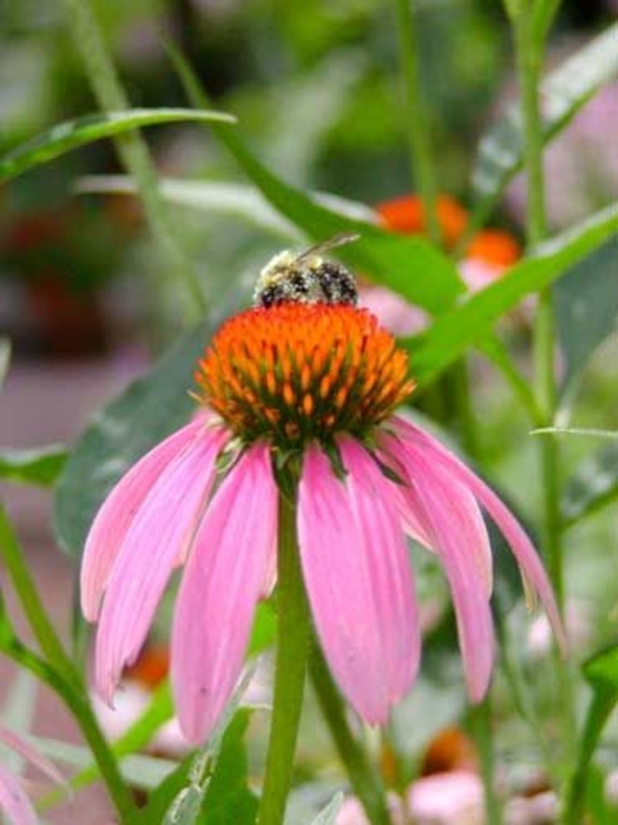 Purple Coneflower and Honey Bee