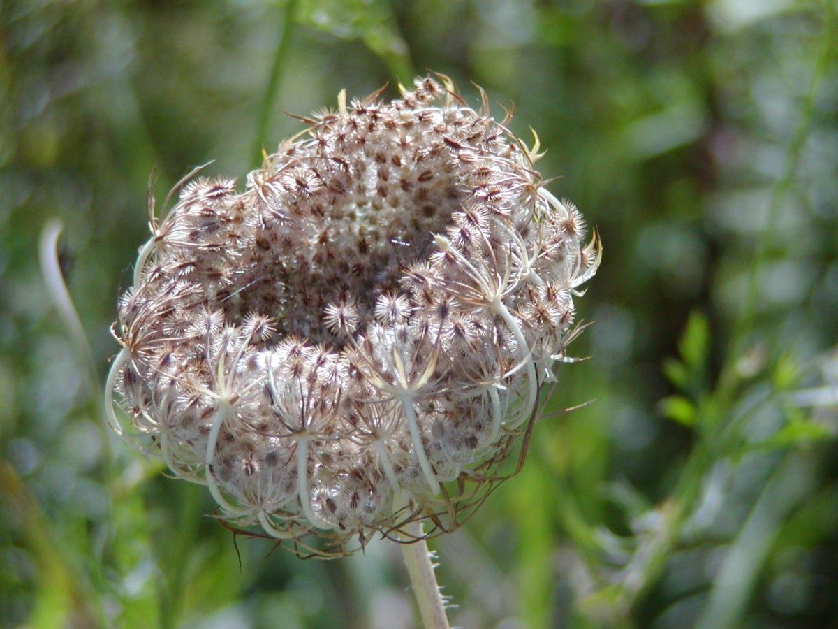 Dead flower head