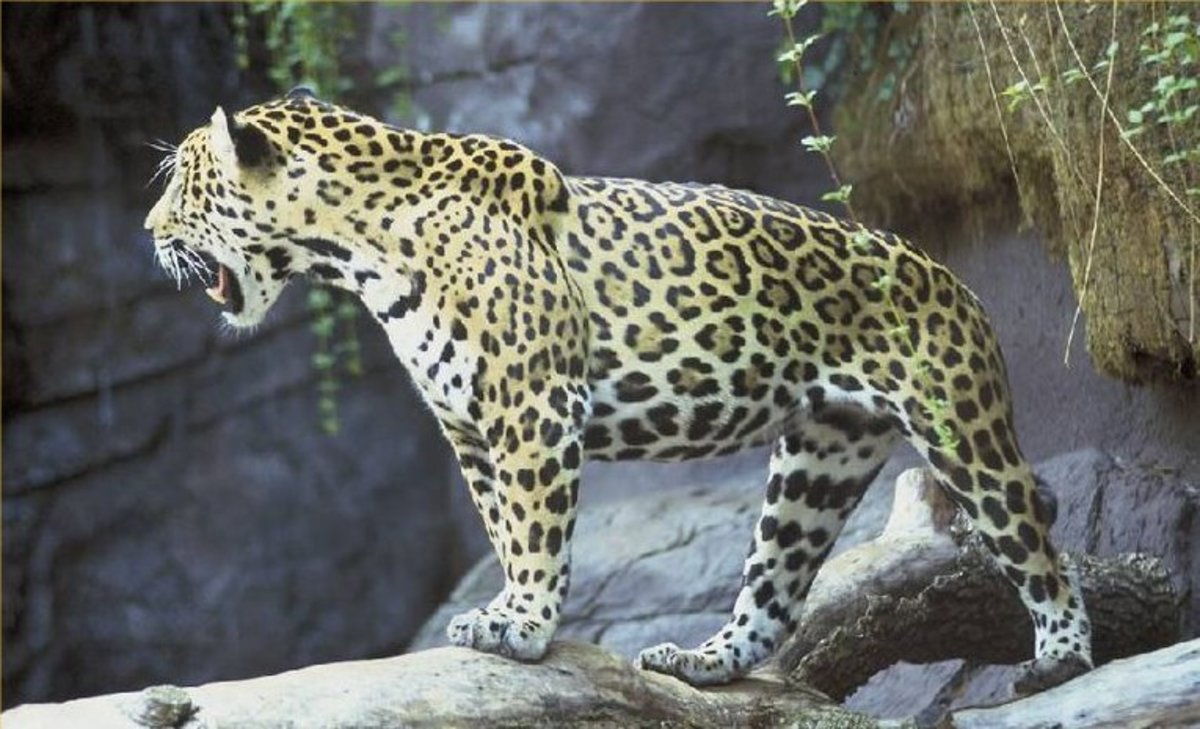 Jaguar - Big Cat