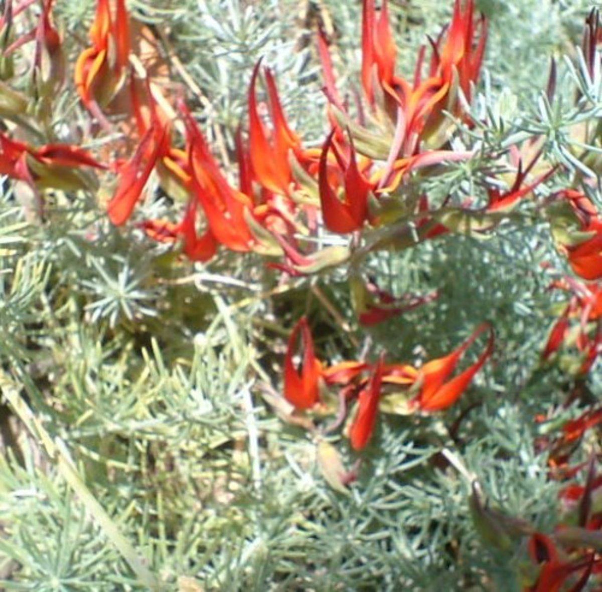 Endangered Canary Islands wildflowers: Tenerife's Parrot's Beak is almost extinct in the wild