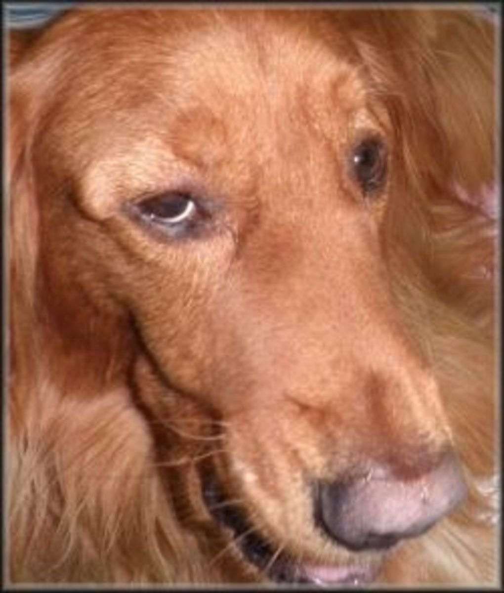 Photo of my dog that was stung by his eye.  If this happens to your pet, take him to a vet.