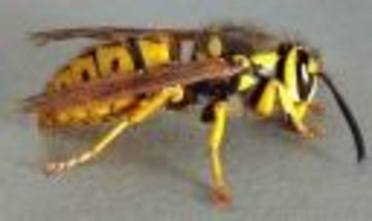 Picture of wasp warming itself on the deck board.