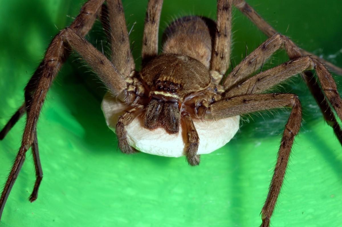 Arachnophobia or Fear of Spiders - Huntsman Spider phobia