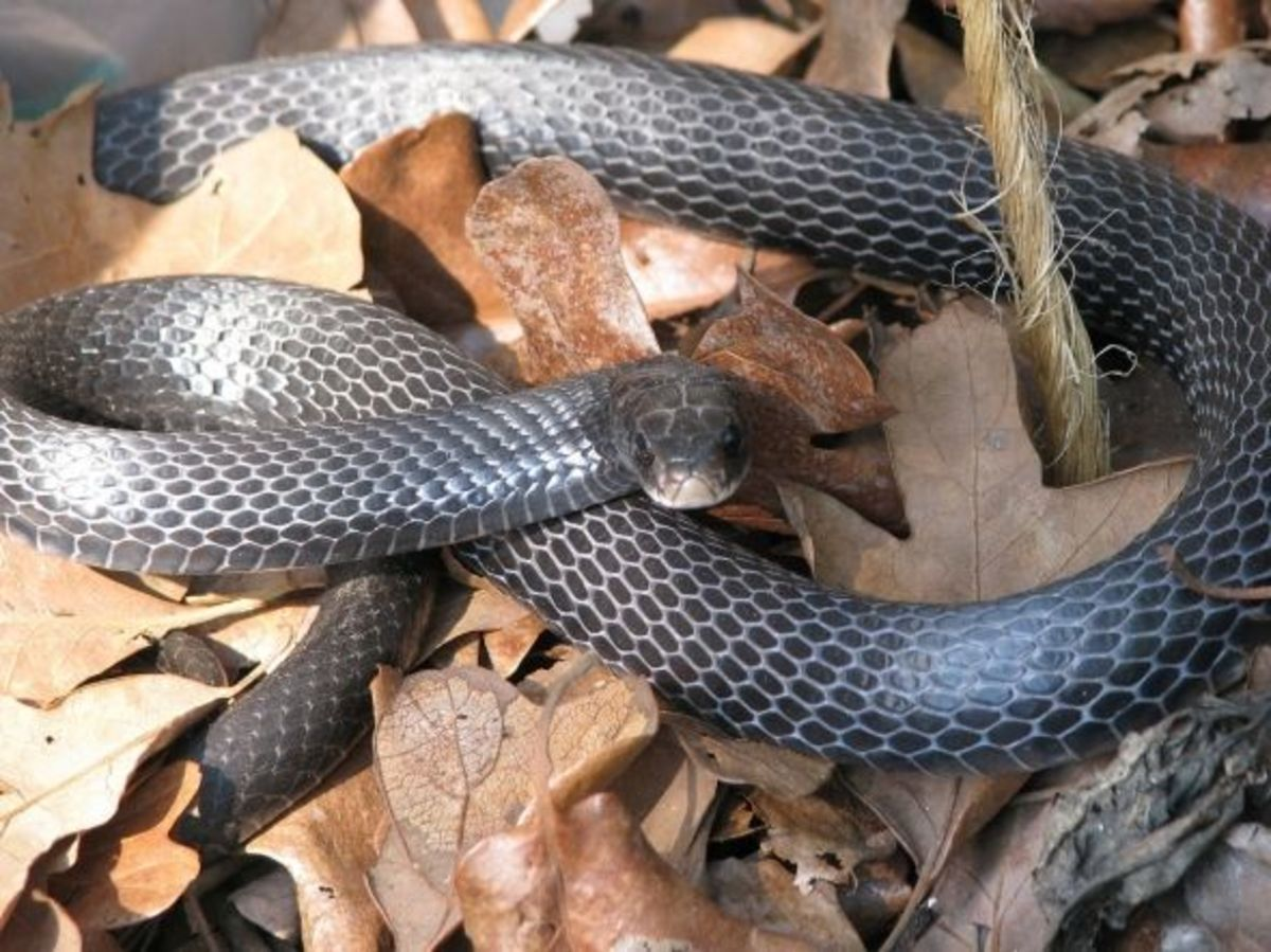 We often see these snakes in fall and late winter as they warm their bodies in the sun. When the weather turns cold they find a hole in a log or other shelter to survive.