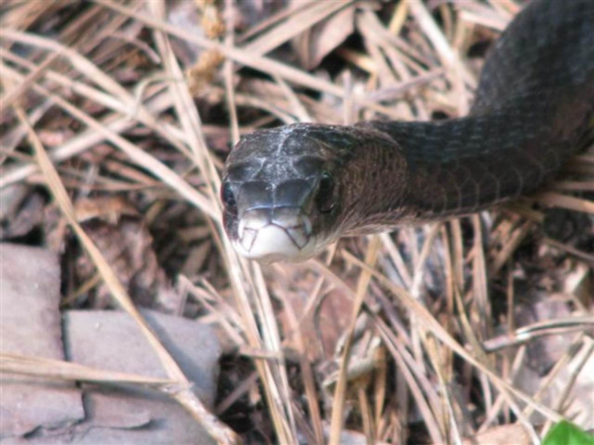 Black Racer Face