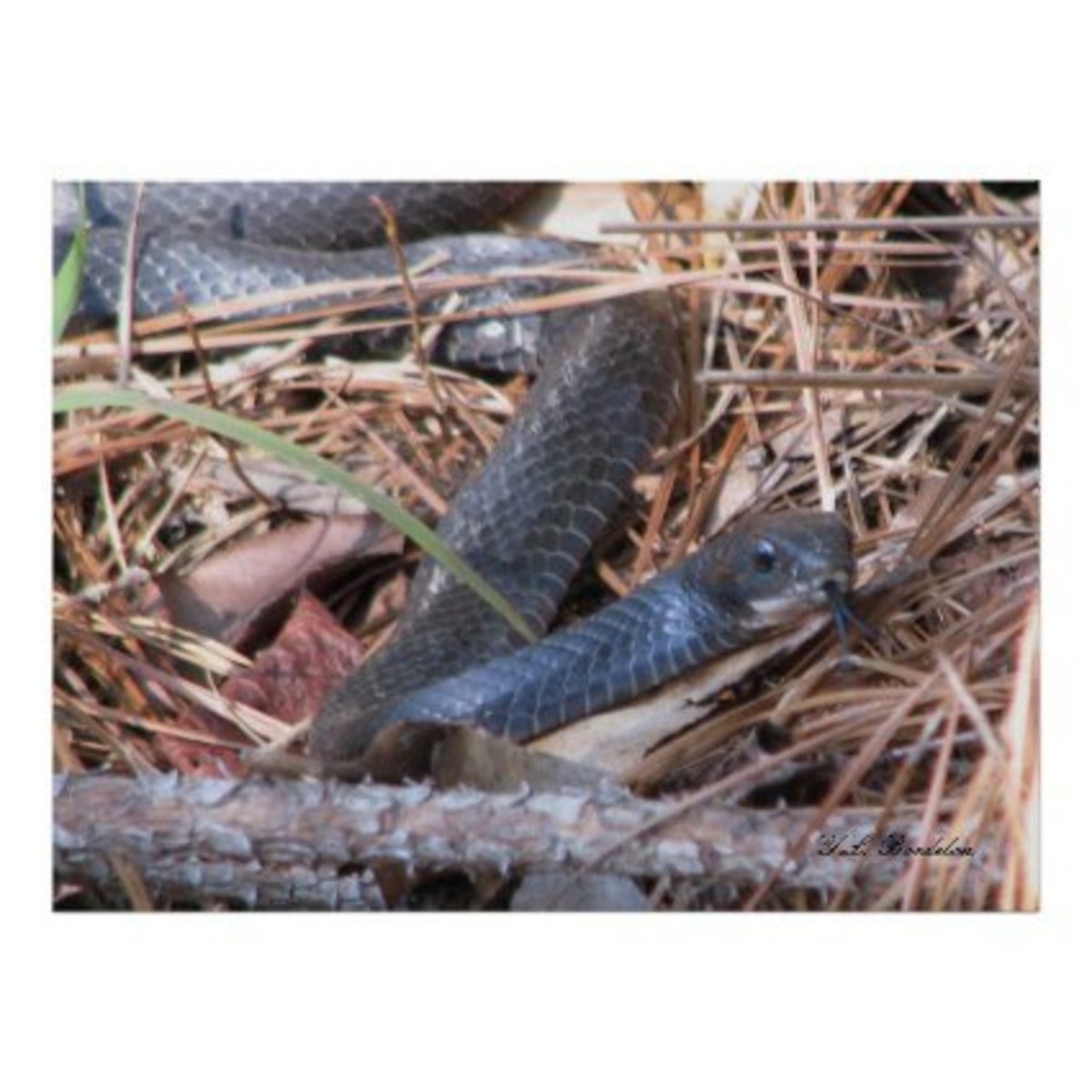 "Snakes use sensors in their tongues to ""feel"" the warm bodies of their next meal. I took this picture of a Black Racer Sensing prey in the woods behind our house."