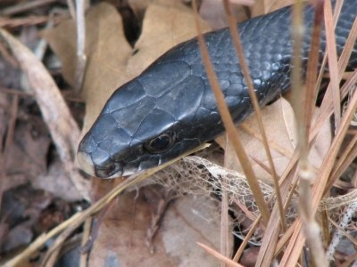 Black Racers have round eyes & are non-venomous.