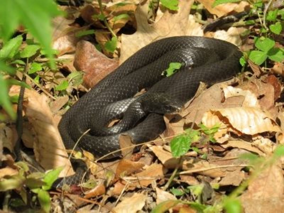 Black Racer Sunning in Early March