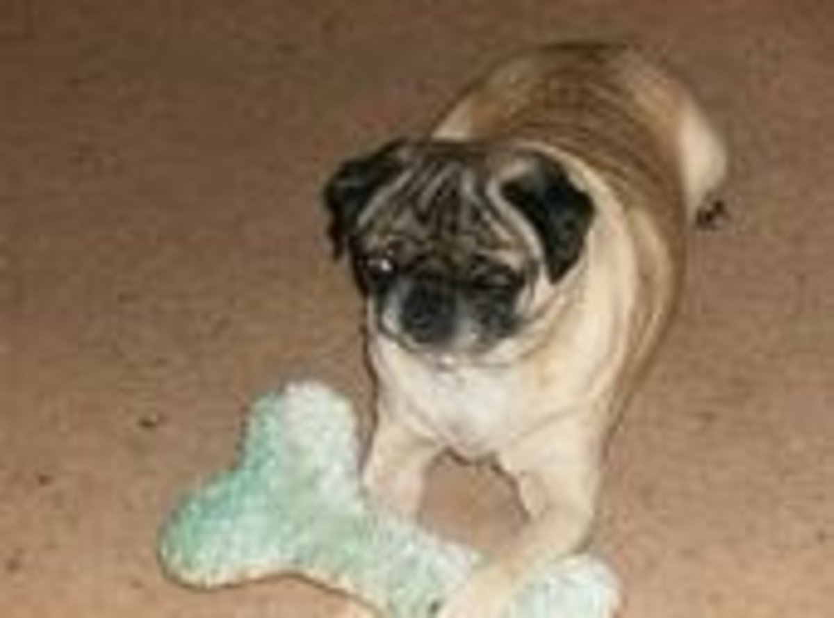Mr. Pugs has definitely got his sexy dog going on- photo courtesy of mom Bonnie Ramsey
