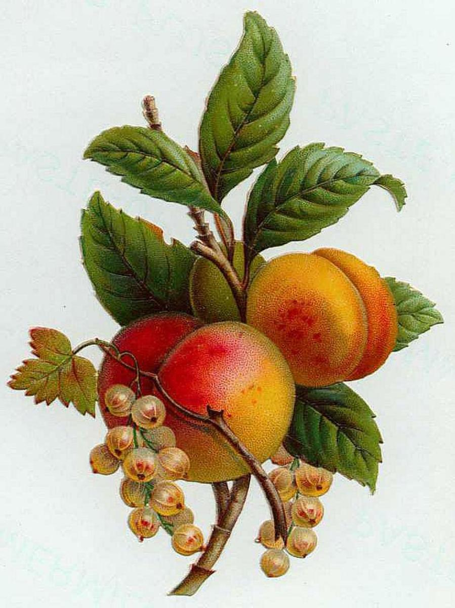 Vintage fruit clip art: two ripe peaches with flowers and leaves