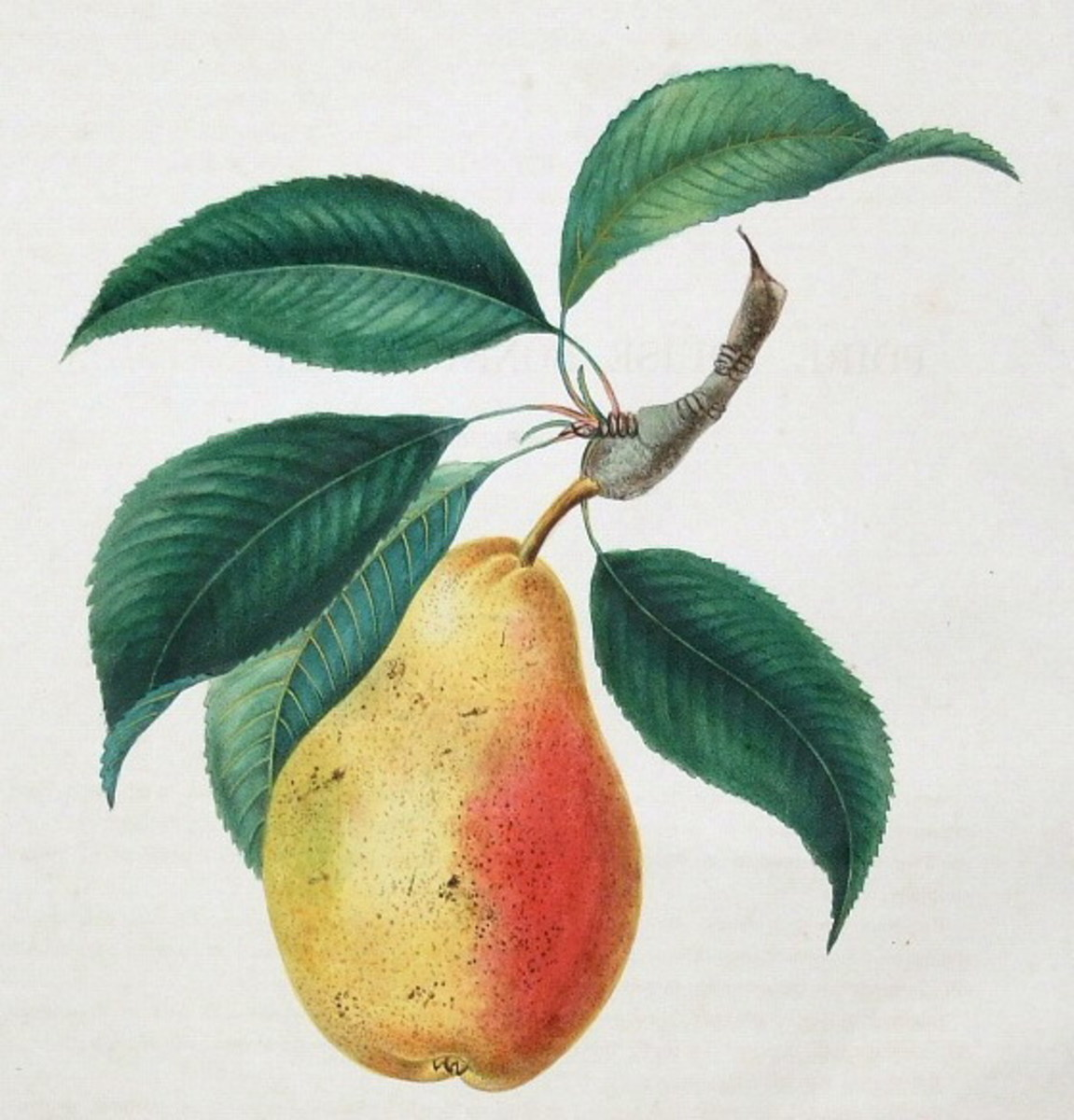 Vintage fruit: pear with leaves