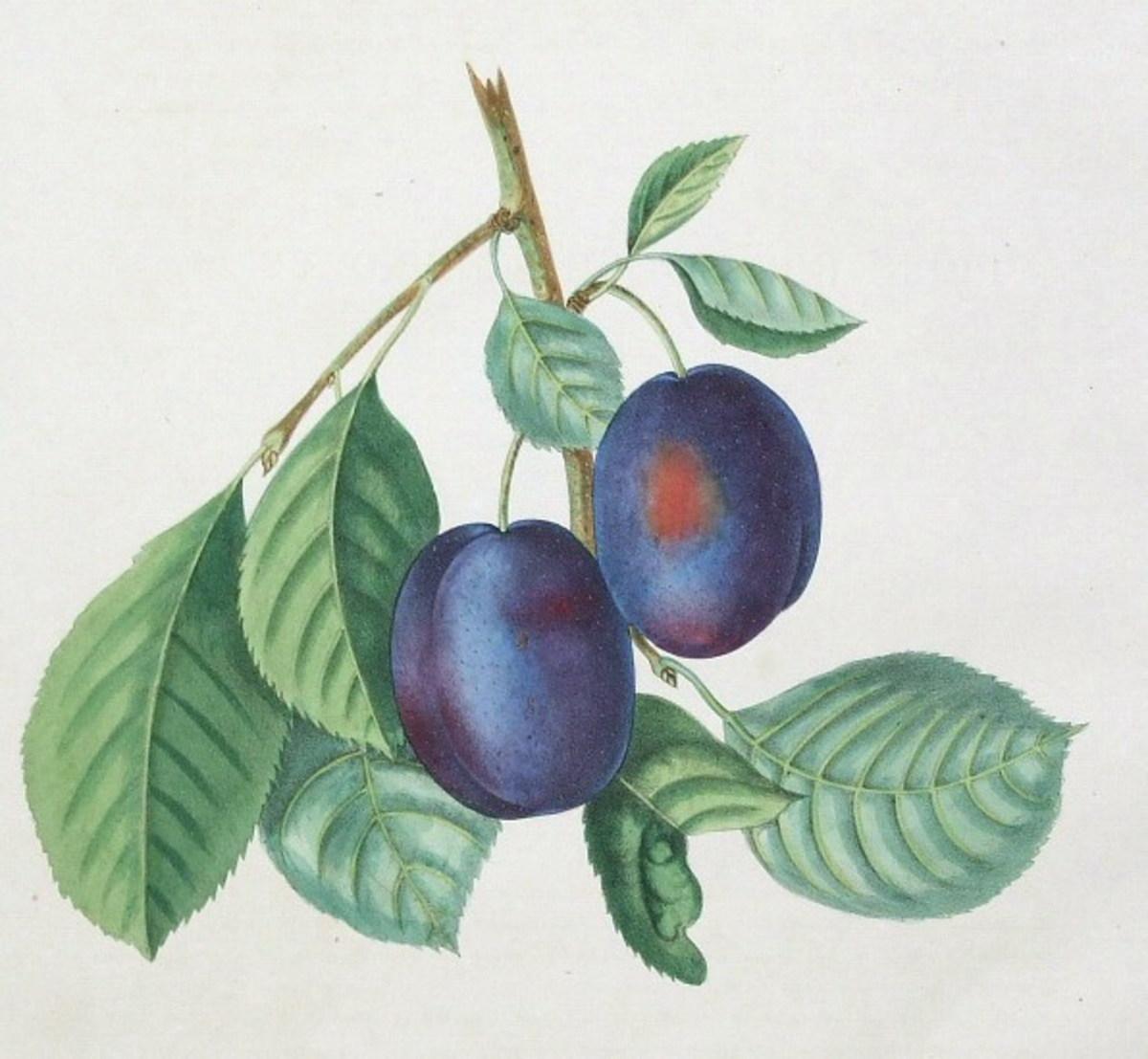 Vintage fruit clip art: figs