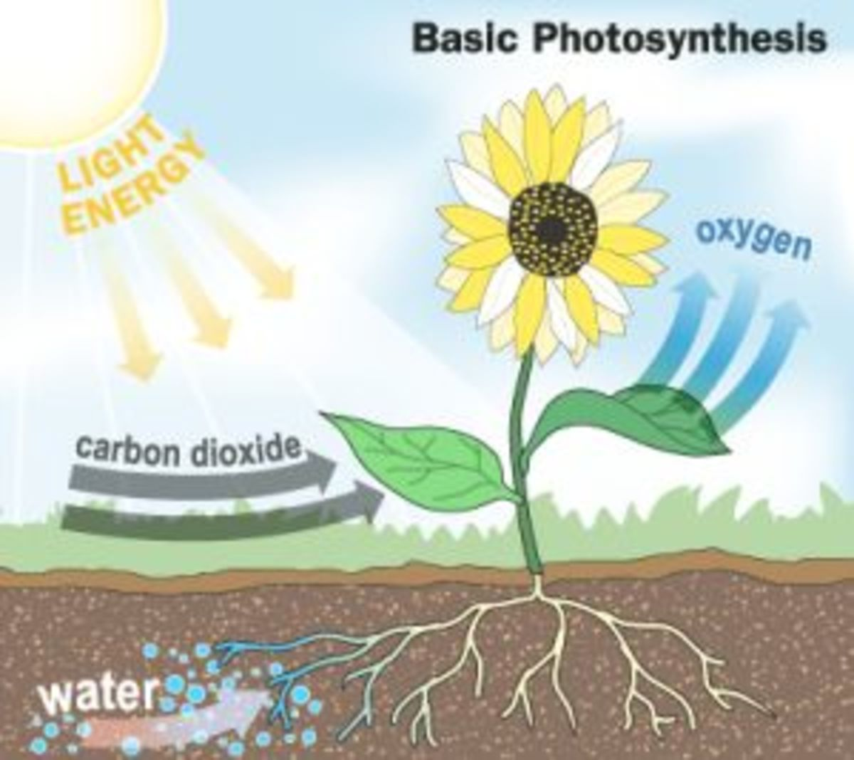 a simple diagram of photosynthesis
