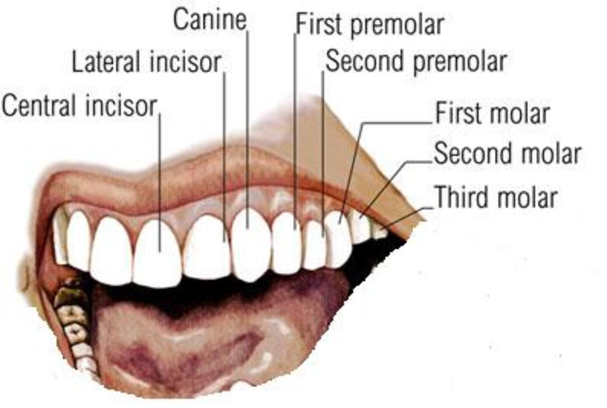 Dental Formula in adult man: there are thirty-two permanent teeth, sixteen teeth in the upper jaw and another sixteen teeth in the lower jaw. The teeth are also arranged in symmetrical sets of eight teeth on each side.