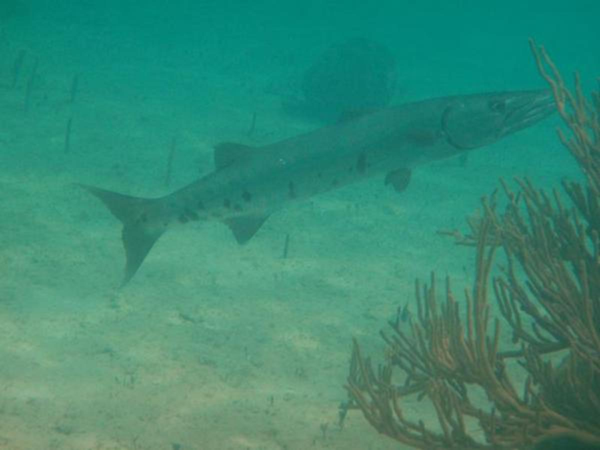 What To Do If You See a Barracuda In The Water