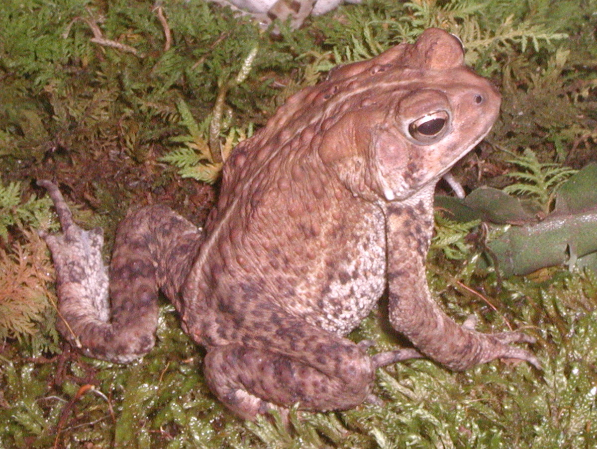 Toads Love To Eat Mosquitoes. So be sure to make any toads in your yard or garden welcome.