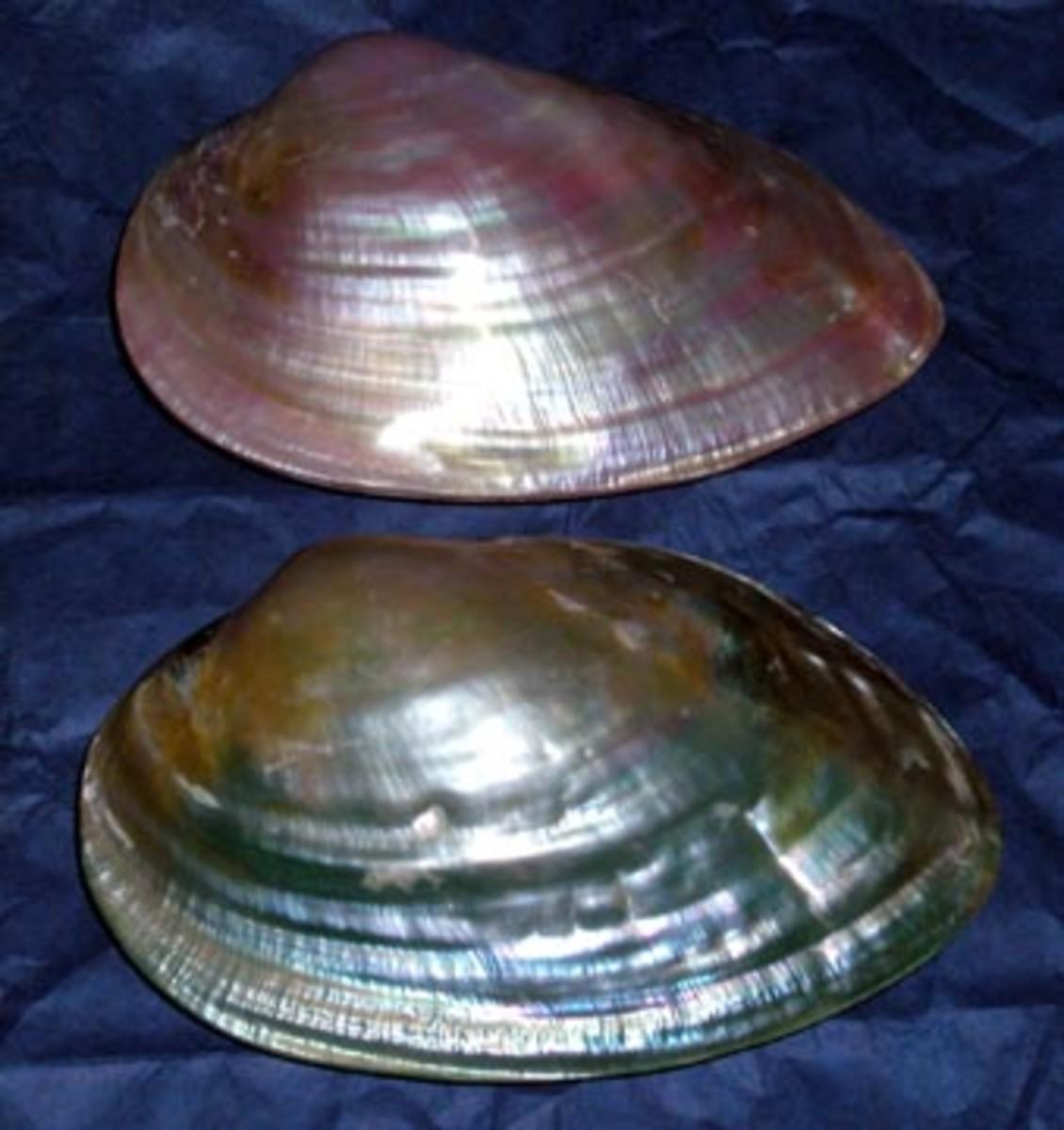 Polished Clam