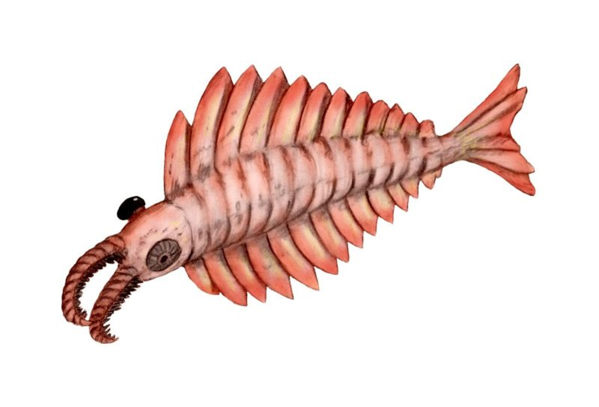Artist rendition of an Anomalocaris