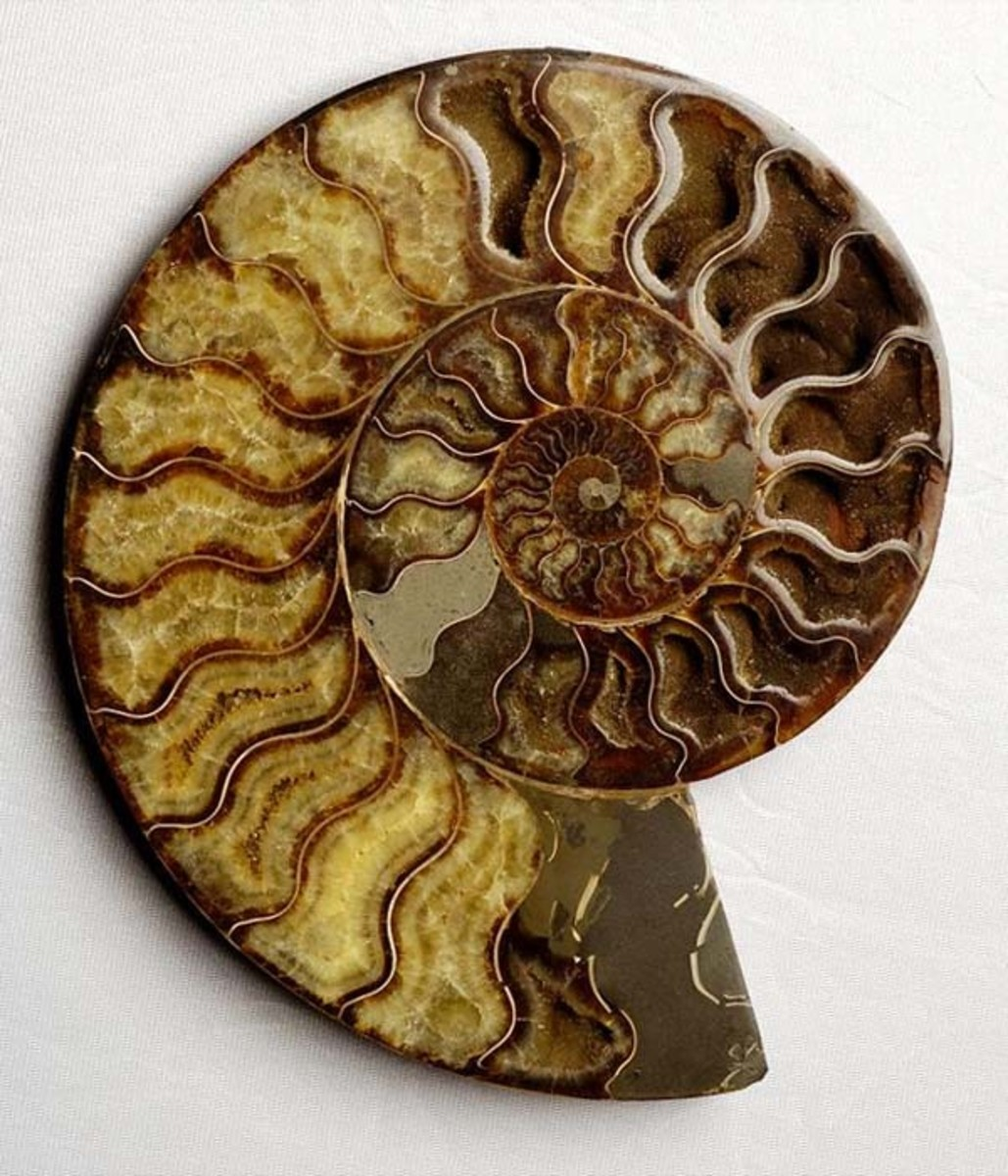 The chambers inside an Ammonite fossil shell.