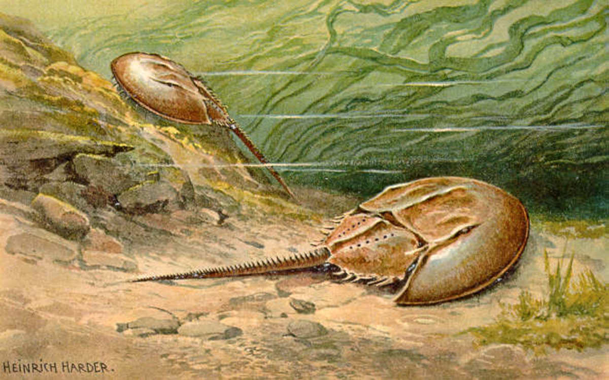 "The oldest horseshoe crab fossil is 445 million years old. Few animals are as deserving of the title ""living fossil"""