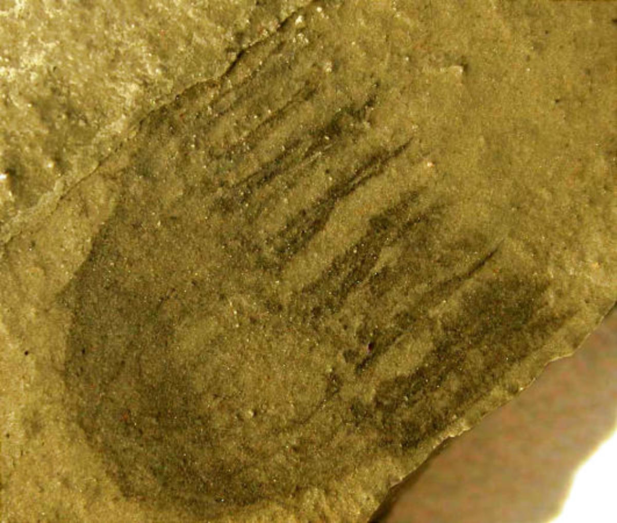 Cambrian fossil jelly