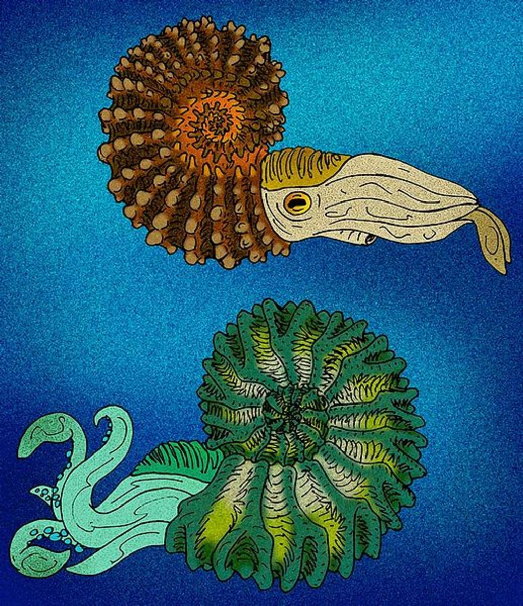 Atist's rendition of an ammonite (although speculations as to what the soft bodied parts looked like is somewhat the job of educated guesses.)